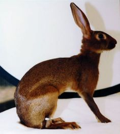 Junior Belgian hare...Belgian hares are actually rabbits, despite what their name says.