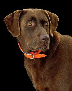 A beautiful young chocolate labrador retriever