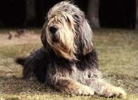 Quite certain that my MacGregor is part Otterhound...this guy looks like his long lost littermate!