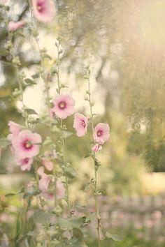 hollyhocks...under dawn's early light  Roses trémières... dans la lumière du petit matin