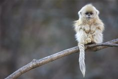 The Golden Snub-Nosed Monkey is one of the few monkey's that actually prefer to hang out in the cold weather of China's mountains.