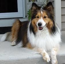 always thought these dogs were so gorgeous and wanted one.