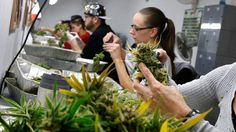 Councillors invited Denver city official Dan Rowland to talk about that city's experiences with legal cannabis as Calgary prepares for the possibility of legalized marijuana in Canada. Cannabis Edibles, Cannabis News, Marijuana Plants, Cannabis Oil, Medical Marijuana, Challenge, Buy Weed Online, Health And Safety, Federal