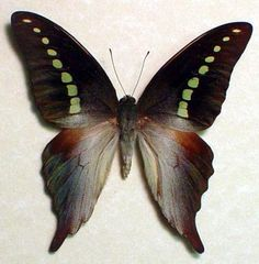 Graphium codrus - Native Origin: Philippines. Stunningly beautiful and delicate butterfly - It seems as if the pattern has been air-brushed on the wings.