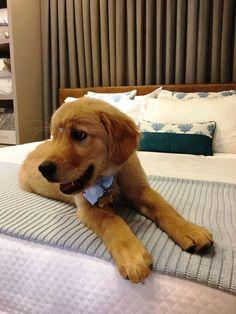 DÁ UMA FOLGA, POR FAVOR | Afinal, quem resiste a uma cama  confortável? Experimente  abrir uma exceção e divirta-se com seu pet. O Paçoca, nosso mascote, tem seus privilégios de vez em quando. #pet #goldenretriever #dog #mascote #pacoca #SpenglerDecor  #ficaadica