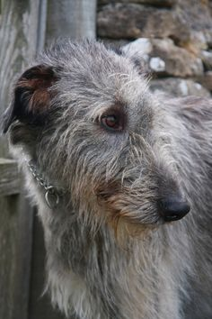 Beautiful wolfhound- Irish of course