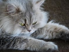 adorable kitty, fluffy cat, shared on Flickr Creative Commons by Magnus Brath