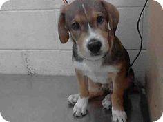 Conroe, TX - Greater Swiss Mountain Dog. Meet PARKER, a puppy for adoption. http://www.adoptapet.com/pet/11917295-conroe-texas-greater-swiss-mountain-dog