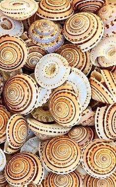Common Sundial shells