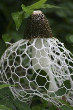 Veiled Lady Mushroom (Phallus indusiatus)   can be found in gardens and woodlands in southern Asia, Africa, the Americas,   and Australia. This edible and rather healthful mushroom is used in Chinese   cuisine. The cap is coated in a greenish-brown slime that contains spores -- the   slime attracts flies and insects that help disperse the spores