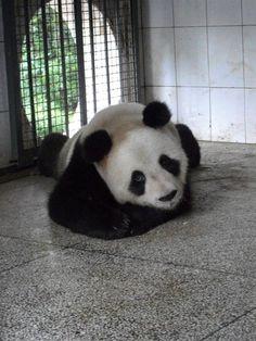 China Panda Breeding Centre with Frontier - Volunteer abroad Panda Love, Cute Panda, Panda China, Animal Pictures, Cute Pictures, Save The Pandas, Panda's Dream, Giant Pandas, Red Pandas