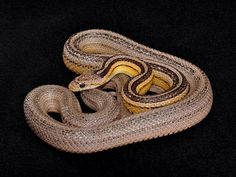 Amphibians, Reptiles, Corn Snake, Collie, Snakes, Pets, Animals, Animales, Animaux