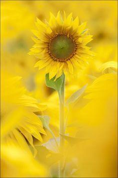 Sunflower. For fun yellow styles, visit www.crocs.com/...