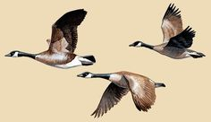 Canada Goose Facts, Information & Photos Goose Drawing, Fly Drawing, Gans Tattoo, Tattoo Graphic, Bird Artwork, Flying Geese, Animal Sketches, Ink Illustrations, Wildlife Art
