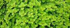 Como cultivar orégano - O orégano ou orégão é uma erva perene e aromática, muito utilizada na cozinha do Mediterrâneo. São utilizadas as suas folhas, frescas ou secas, pelo sabor e aroma que dão aos pratos. Considera-se que as folhas secas tem melhor sabor.  Várias espécies do gênero são nativas do Mediterrâneo usadas... - http://ecoadubo.blog.br/ecoblog/2015/08/25/como-cultivar-oregano/