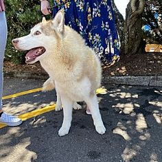 Husky Adoption, A Husky, Portland Oregon, Safari, Meet, Pictures, Dogs, Animals, Photos