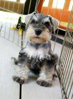 This little schnauzer pup is intrigued by your offers of playtime.