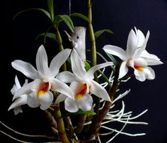 Orchid Species Photo Archives | Dendrobium christyanum - Orchid Forum by The Orchid Source