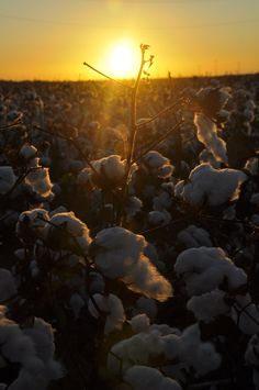 Cotton field at night