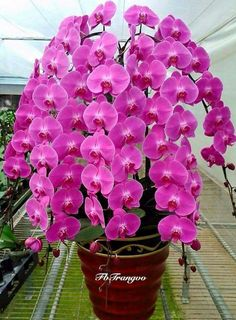 How to Care for Orchids So They Live & Grow Them Correctly So They Bloom: Learn How You Can Care for Your Orchids Quickly & Easily The Right Way Before You Kill Them Slowly & Painfully The Wrong Way Flower Care, Pretty Flowers, Rare Flowers, Amazing Flowers, Beautiful Flowers, Beautiful Orchids, Orchid Wallpaper, Tropical Flowers, Orchid Flower