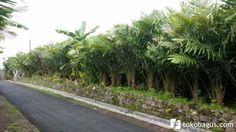 LIGHTPROPERTI: DIJUAL Tanah Kebun Salak Produktif di Agrowisata Turi Sle...