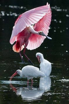 Rosetta spoonbill and white ibis