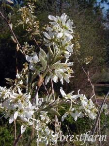 Amelanchier grandiflora - prince William