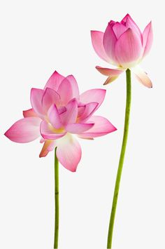 Twain Pink Water Lily Flower (lotus) Stock Image - Image of floral, beautiful: 20197907 Lotus Flower Wallpaper, Lotus Flower Art, White Lotus Flower, Pink Lotus, Art Flowers, Watercolor Flowers, Watercolor Art, Water Lily Tattoos, Flower Png Images
