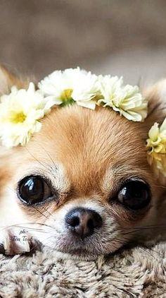 Chihuahua  ❇Téa Tosh❇