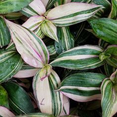 Tradescantia zebrina quadricolor. Tradescantia zebrina, formerly known as Zebrina pendula, is a species of spiderwort more commonly known as an inchplant or wandering jew Shade to partial shade, temp 45 to 100 degrees, mound to 8 to 10 ins. will trail to 3 to 5 ft or more, allow to getting fairly dry between watering Family: Commelinaceae Зеленые Листья, Агасфер, Небольшие Коттеджи, Растения