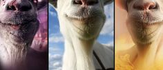Goat Simulator pone rumbo a Xbox One   CheckPoint Games