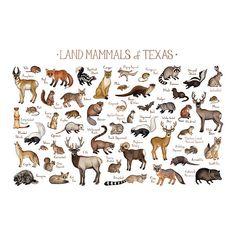 Texas Land Mammals Field Guide Art Print  / Animals of Texas /