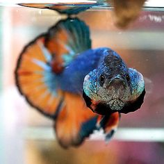 Live Betta Fish Male Fancy Marbled Turquoise Blue Orange Hawk Halfmoon Plakat