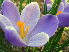 Purple Crocus - March