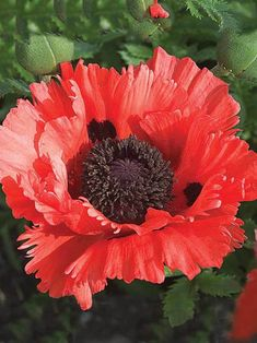 Perennials and Perennial Plants from Bluestone Perennials Flowers Nature, Exotic Flowers, Orange Flowers, Red Poppies, Colorful Flowers, Dried Flowers, Poppy Flowers, Orange Color, Sun Garden