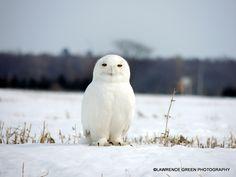 Male Snowy Owl!