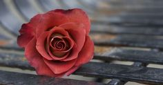 Image result for single autumn roses pictures