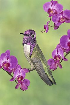 Costa's Hummingbird and Orchids | Gail Melville Shumway Photography.He looks like he has a purple chain mail helmet on!