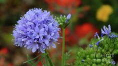A purple wildflower bloom. Photo by Chandra Nyleen