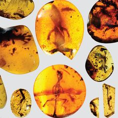 """scienceisbeauty: """" World's oldest chameleon found in amber fossil """" About 100 million years ago an infant lizard's life was cut short when it crawled into a sticky situation. The early chameleon was creeping through the ancient tropics of present-day. Baby Lizards, Baby Chameleon, Amber Fossils, Spiegel Online, Tropical Forest, Jurassic Park, Southeast Asia, Geology, Preserves"""