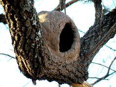 Nido de hornero - Pájaro típico de Argentina que construye su nido con barro, y es un verdadero arquitecto, porque subdivide el interior, para proteger a los pichones de las inclemencias del clima.