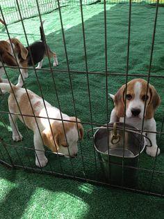 Life With Beagle: PHOTOS: Show beagle puppies!