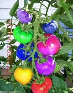 100pcs/bag rainbow tomato seeds, rare tomato seeds, bonsai organic vegetable & fruit seeds,potted plant for home &garden. | wonderfestgifts.com