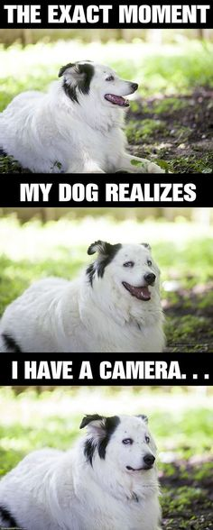 """The exact moment... My dog realizes... I have a camera."" ~ Dog Shaming shame - Australian Shepherd - What Did I Tell You About Taking My Picture?"