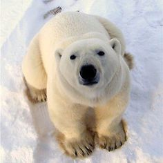 Comment below why you love polar bears!