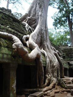 Tree roots, Angkor Wat temple, Cambodia