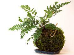 Kokedama signifie en japonais « boule de mousse». C'est un art floral qui est apparu au Japon au début des années 1990. Cet art consiste à créer une boule de substrat entourée de mousse, dans laquelle, un végétal se développe. Cet agencement floral permet de sublimer la plante, d'en dévoiler son potentiel graphique et de