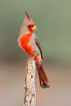 The Pyrrhuloxia - Cardinalis sinuatus, is a medium-sized North American songbird found in the American southwest and northern Mexico.