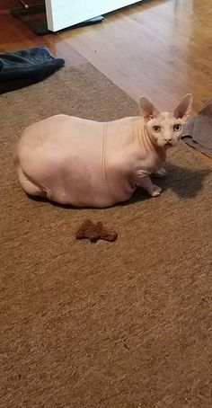 Sphynx Cat #SphynxCat Funny Animal Memes, Funny Animal Videos, Cute Funny Animals, Funny Cats, Hairless Animals, Ugly Animals, Sphinx Cat, Unique Cats, Funny Animal Pictures