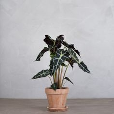 Alocasia Polly 1